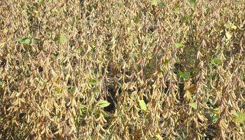 Habrá mucha variabilidad en la cosecha, con rindes que van de 7 a 32 qq/ha para la soja