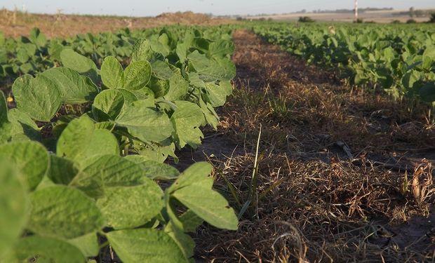 Con el uso de fertilizantes foliares se puede aumentar entre un 8 y un 12% el rendimiento