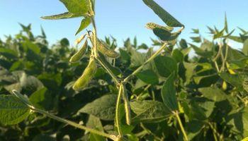 Aprobaron en Brasil la soja HB4, tolerante a sequía