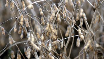 La soja alcanzó los $ 15.000 en el mercado de granos de Rosario
