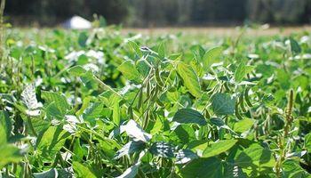 Una variedad de soja tolerante a sequía  rindió 26% más que el testigo