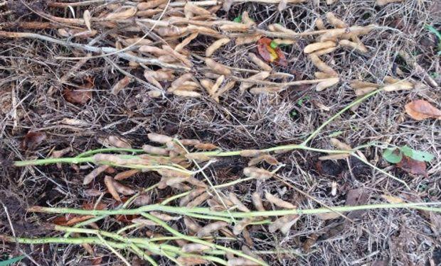 El presente de las plantas muestra un desbalance en la maduración de la soja.