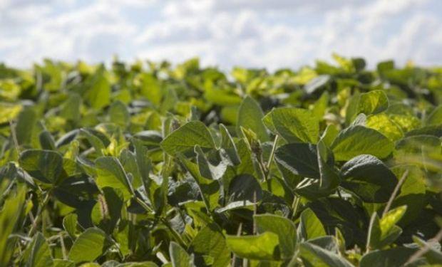 La grave sequía local impulsa los precios de la soja y el maíz.