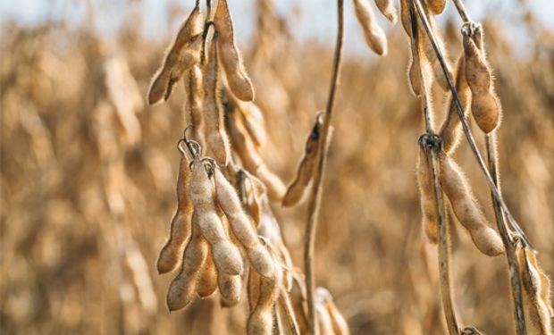 Retroceden los granos con el aceite de soja liderando las bajas.