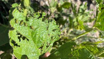Isoca bolillera y vaquita defoliadora, las principales plagas que amenazan la soja