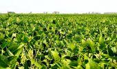 Preocupación en Brasil por la presencia de una enfermedad que pudre la soja y aún no fue identificada