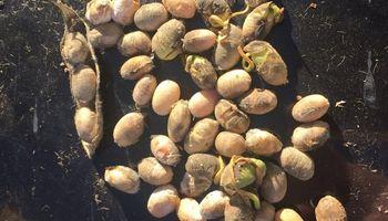 Entre Ríos: industrias aceiteras rechazan soja en mal estado