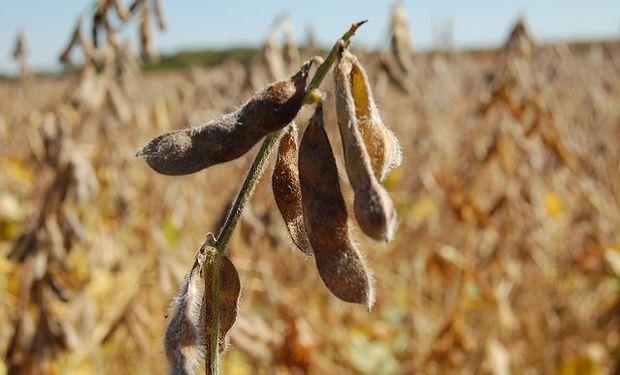 Se mantiene estimación récord para la soja pese al clima