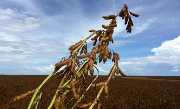 La soja en Chicago se recuperó parcialmente de la mayor caída en 6 meses, pero en Rosario perdió US$ 5