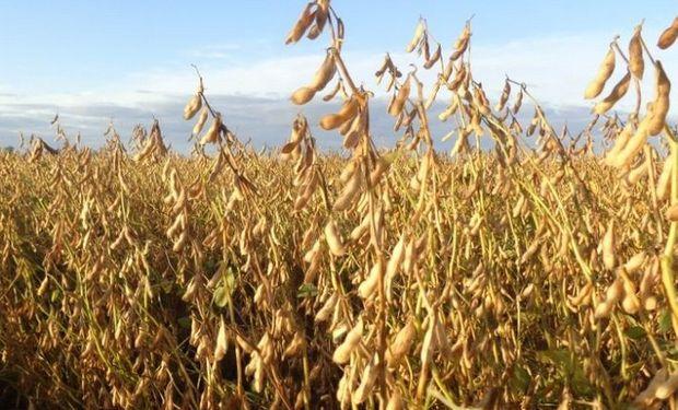 La soja se mantuvo estable en el mercado local.