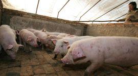 ¿Nuevas cepas de peste porcina en China? Por un rebrote, apuntan a vacuna ilícitas