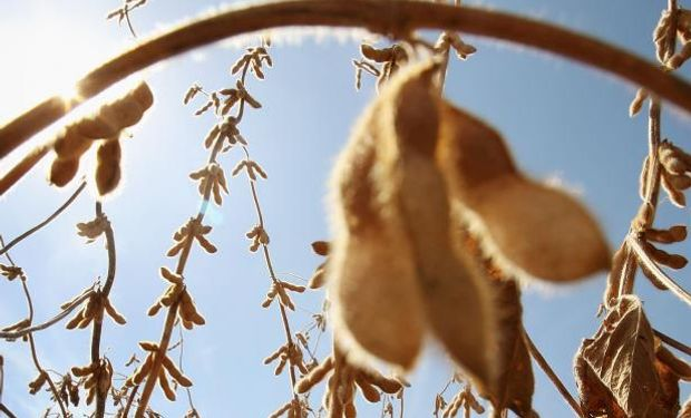 La soja le hizo frente al importante avance de la cosecha.
