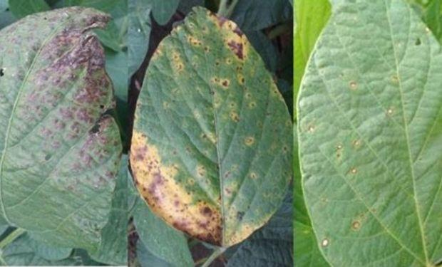 Tizón foliar en híbrido susceptible, lesión de tizón foliar en un híbrido resistente y roya común en híbrido susceptible en siembra tardía