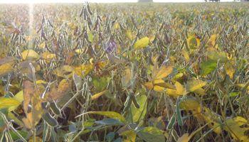 La soja va definiendo su ciclo bajo óptimas condiciones