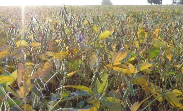 Desarrollo sin inconvenientes para la soja de primera en la región.