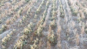 Cómo impactaron las primeras heladas del año sobre la soja de segunda y el maíz tardío