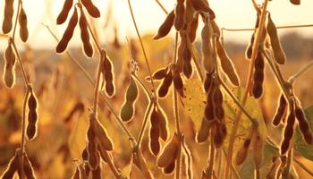 Leve caída en el precio de la soja local sin la referencia externa