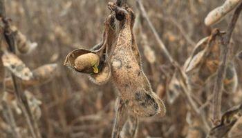 Por las lluvias bajó un 60% la calidad de los granos