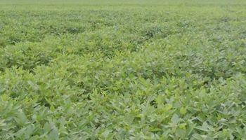 Nuevas lluvias podrían ser negativas para la soja