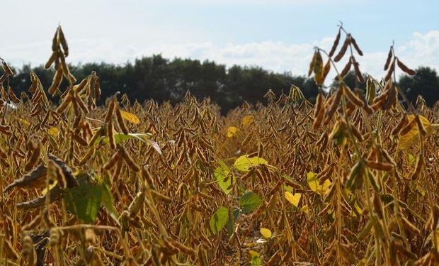 La superficie de soja alcanzaría los 20,5 millones de hectáreas.