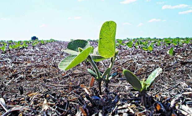 Monitoreo. Para determinar la incidencia de la plaga dentro del cultivo hay que abrir los brotes de soja y verificar la presencia de larvas. Para realizarlo se toman diez plantas al azar dentro del lote y se establece el porcentaje de plantas con larvas.