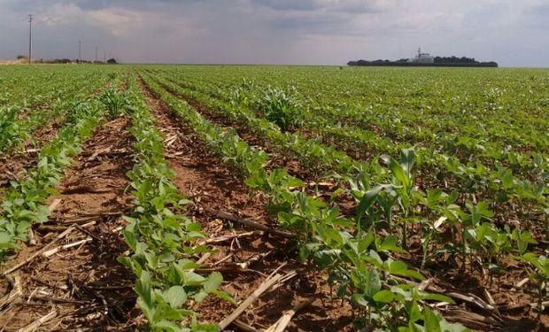 La siembra de la oleaginosa viene a toro ritmo en Brasil.