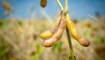 CONAB proyectó una cosecha récord de soja en Brasil