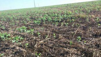 Soja: falta de lluvias afecta al mayor estado productor de Brasil