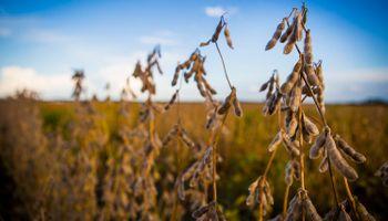 Siguen las bajas: mínimo de 10 meses para la soja en Chicago
