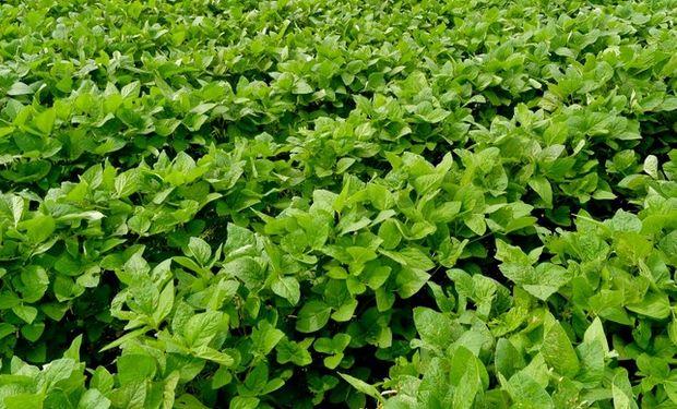 Un 84% de los cuadros de la oleaginosa se encuentran en plena floración.
