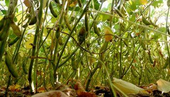La soja consolida rindes a pocas semanas de comenzar la trilla