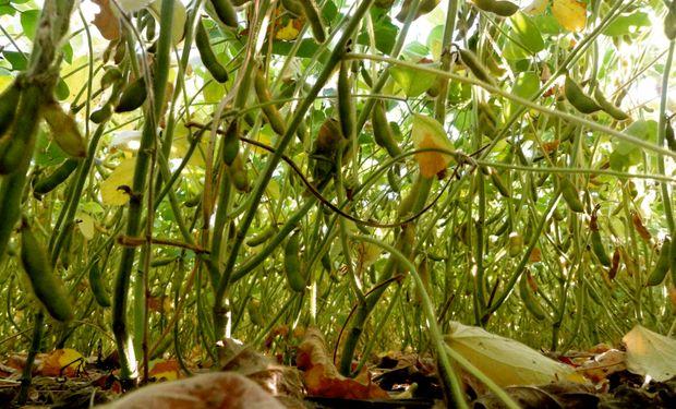 La trilla de soja comenzaría a medidos de septiembre.