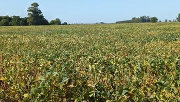 En gráficos: cómo están la soja y el maíz contra campañas anteriores