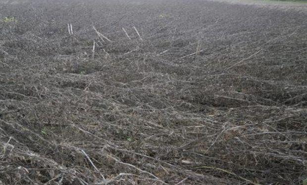 Lote de soja de primera, con marcados síntomas de deterioro del cultivar, en el centro oeste del departamento Castellanos.