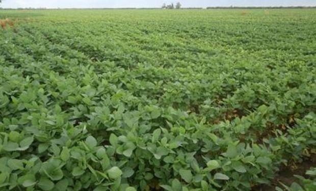 Lote de soja de primera, buen desarrollo, 100 % uniformidad, en desarrollo, en el centro del departamento Castellanos.