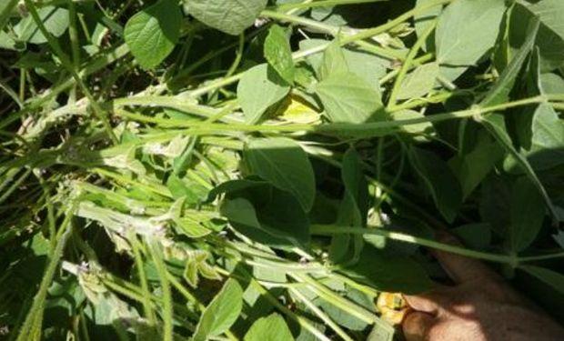 Lote de soja de primera, buen desarrollo y estructura de planta, en plena floración en el centro del departamento Castellanos.-
