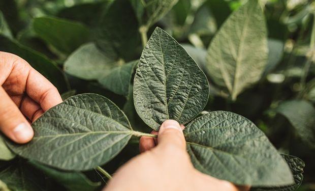 Soja Enlist: semillero pone a disposición de sus multiplicadores el nuevo evento biotecnológico