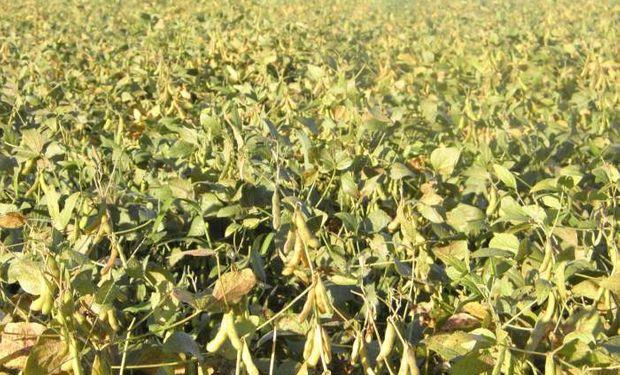 Pérdidas llegarían al 20% en la soja en EEUU de darse las heladas pronosticadas