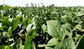 Por la falta de lluvias en febrero, la soja podría perder hasta 10 quintales por hectárea en zona núcleo