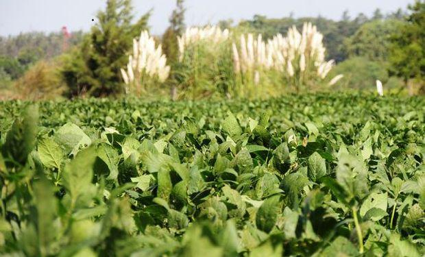"""¿Cómo producir soja en año Niña? Claves para no perder calidad ni """"ponernos verdes"""""""