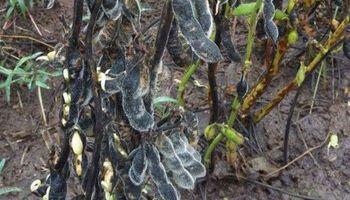 Por las lluvias, la soja cosechada es de muy mala calidad