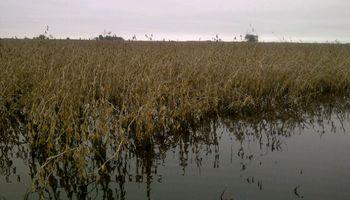 A contrarreloj: en Chaco usan equipos arroceros para cosechar soja