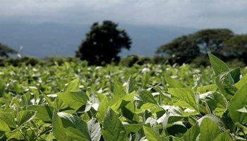 La lluvia que sorprendió a la región núcleo evitó que las pérdidas en soja superen el millón de hectáreas