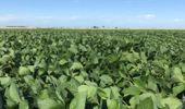 Resiembras, refertilizaciones y alivio temporal: cómo reaccionaron la soja y el maíz a las lluvias