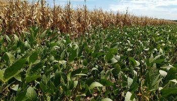 ¿Soja o maíz? Una pelea pareja entre los cultivos de segunda