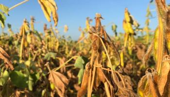 Clima seco: se recorta la estimación de cosecha de soja y maíz en Argentina