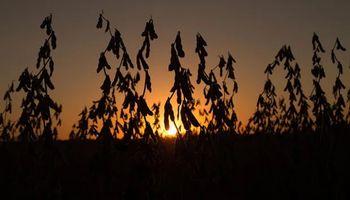 Acompañando a Chicago, hubo bajas para soja, trigo y maíz en Rosario
