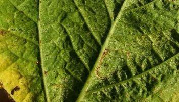 Soja: por ahora es baja la presencia de plagas