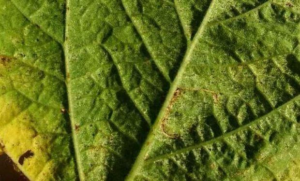 Baja presencia de plagas en soja en la zona núcleo.