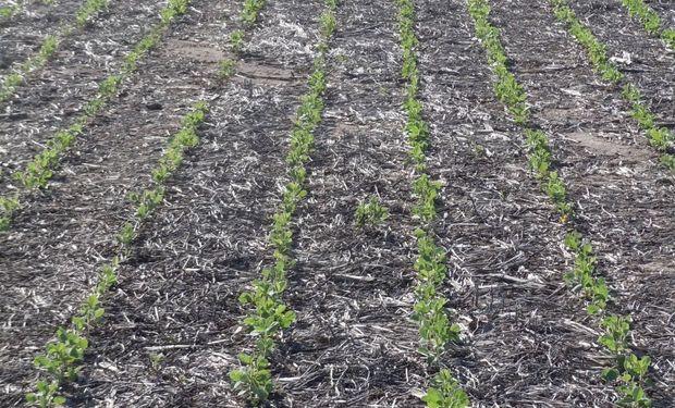 Se frenó la siembra de soja, sorgo,  algodón y maíz de segunda
